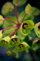 Euphorbia blossoms.