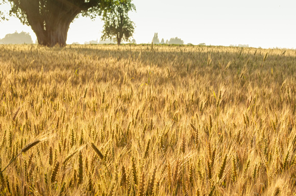Wheat is ready for harvest.