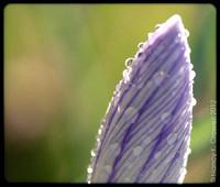 Dew covered crocus close-up.