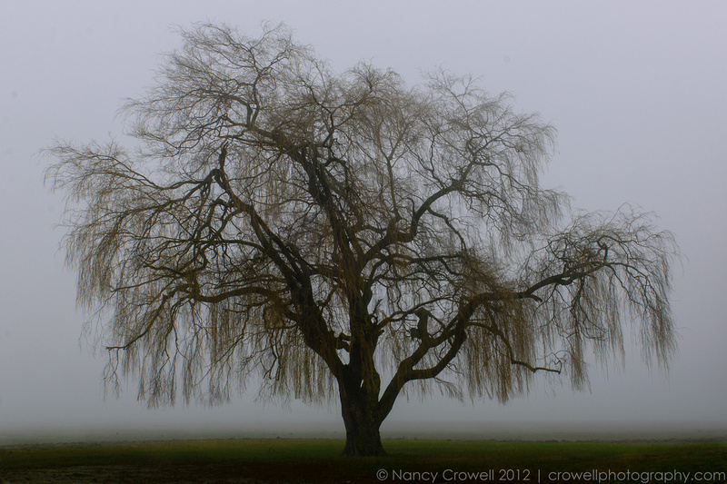 Fog backlights a lone willow tree on Best Road in Mt. Vernon, Washington.