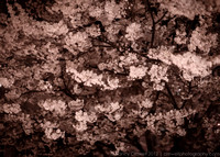 A spring bloom of cherry blossoms. (c) Nancy K. Crowell | Crowell Photography