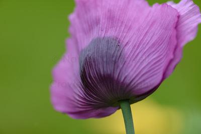 Lavendar Poppy
