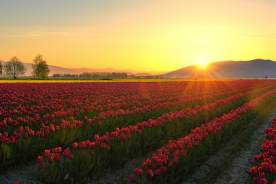 Sunrise over a field of red tulips in La Conner, Washington.
