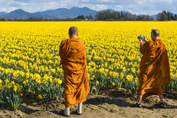 Orange-robed monks offer colorful juxtaposition against the brilliant yellow daffodil fields of the Skagit Valley when they stop to take photos.
