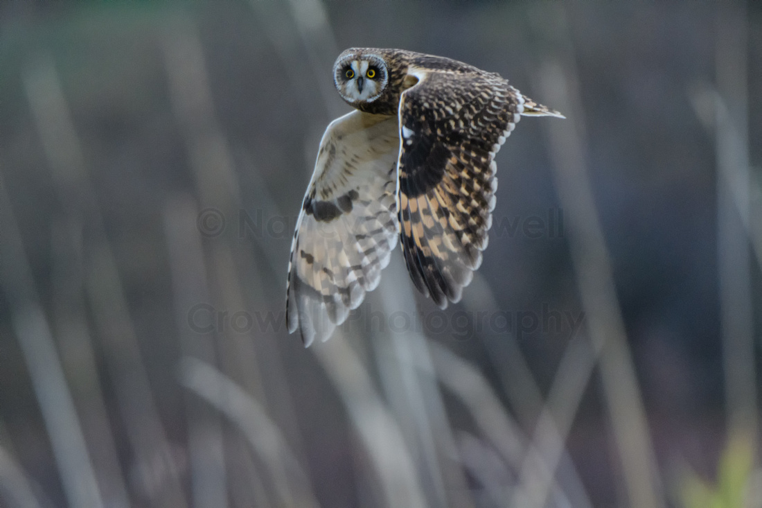 Short Eared Owl-1