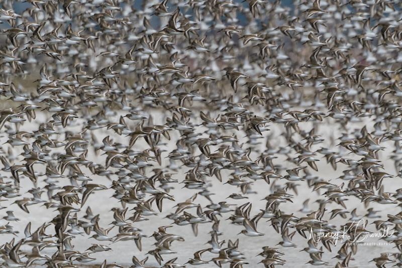 Photo of hundreds of dunlin in flight.