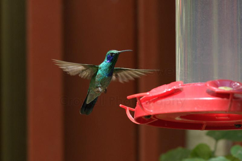 A hummingbird with a blue throat in flight, approaching a feeder.