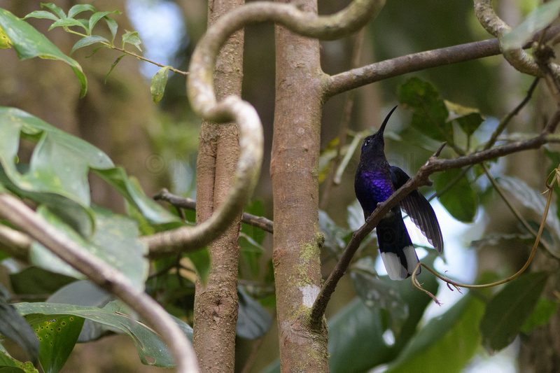 Hummingbird with a purple chest sitting on a tree branch.