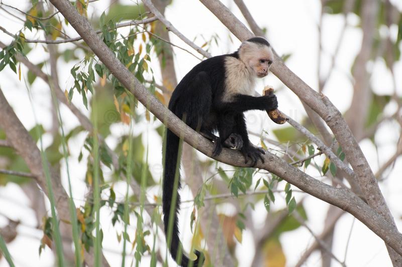 White faced monkey eating a banana.