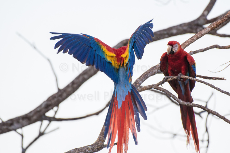 Two scarlet macaws on a branch in a tree.