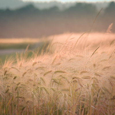 Rivers of wheat dot the Skagit Valley.
