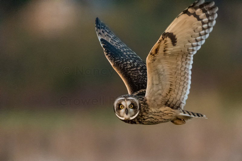 Short-eared owl in flight looking directly at camera.