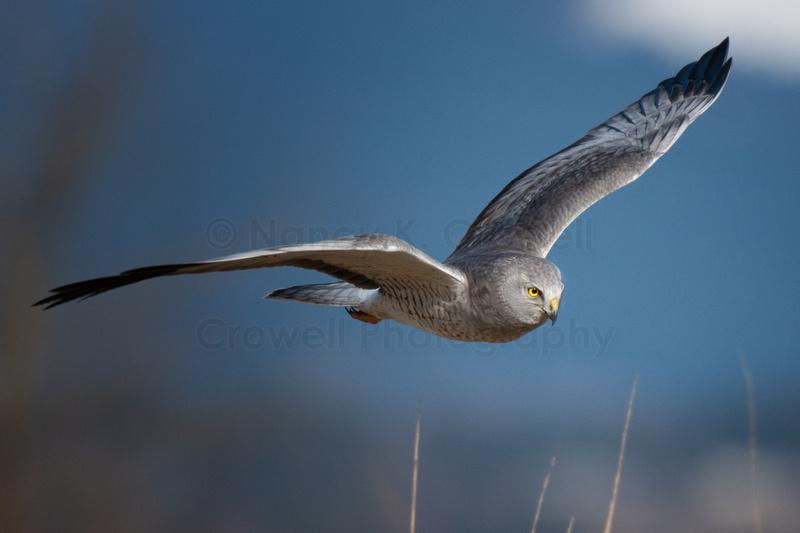 Adult male northern harrier in flight.