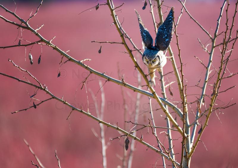 Northern Hawk Owl flying off tree toward prey.