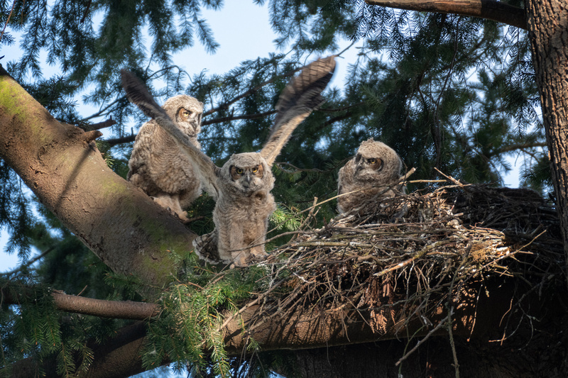 Great Horned Owlets Starting to Branch