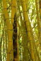 A new shoot of Golden Bamboo was taller than I am!