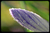 Close-up of a dew covered crocus.