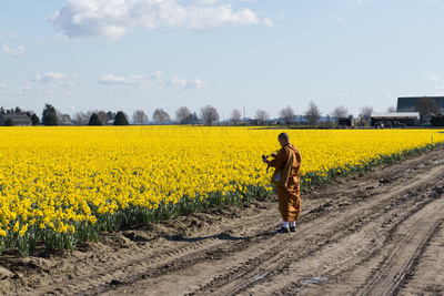 An orange-robed monk checks focus on his digital camera as he takes photos of the yellow daffodil fields in the Skagit Valley, Washington.