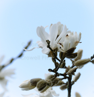 Star magnolias are blooming all around.