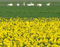 Swans by daffodil fields.