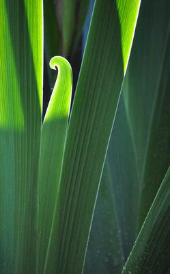 Iris leaf in early morning light.