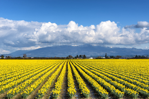 Long, neat rows of yellow daffodils in full bloom in the Skagit Valley, Washington.