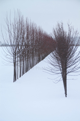 Two rows of trees converging in snow.