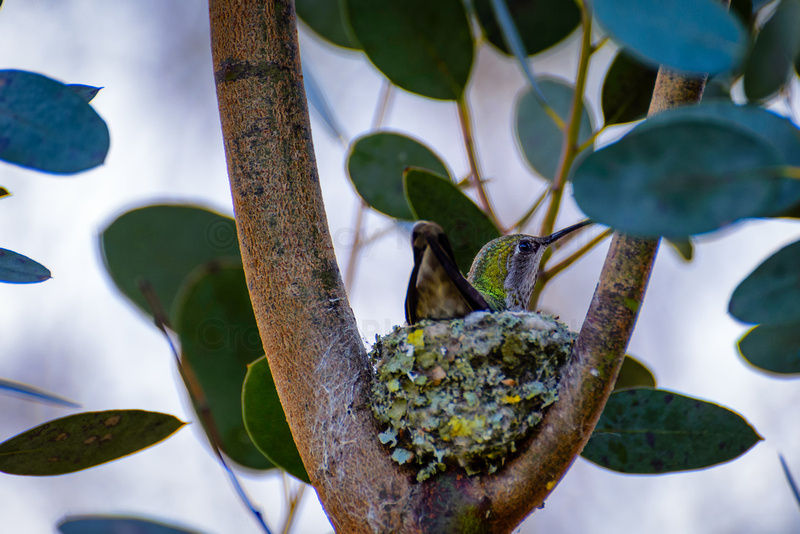 Anna's hummingbird sitting on nest.