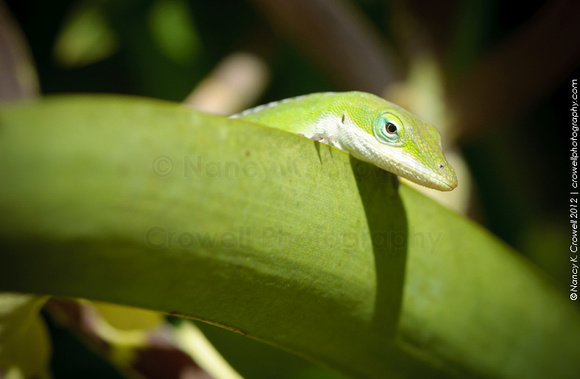 Aloha, chameleon.