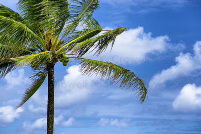 The fronds of a single coconut palm blowing in the breeze against a blue sky with puffy white clouds.