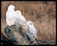 Snowy owls are visible from the trail at Boundary Bay park in Delta, B.C.
