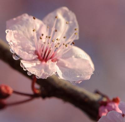 Dew drops cling to a plum blossom petal.