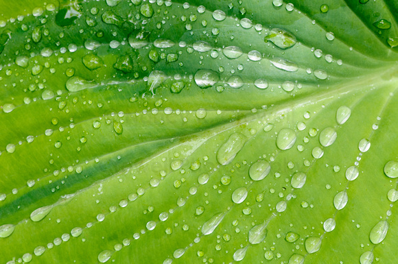 Hosta leaves collect raindrops and display them like jewels.
