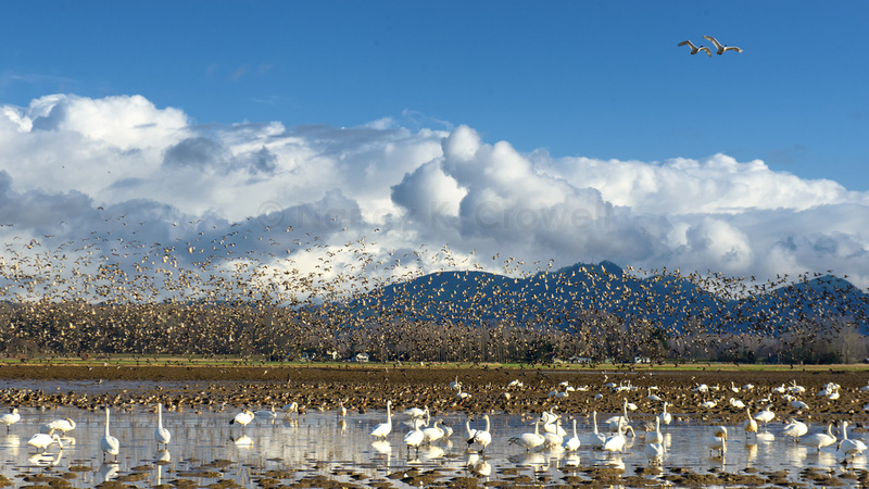 A field and sky full of trumpeter swans and mallards against the dark blue mountains of the Skagit Valley.