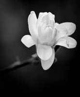 Star magnolia in full bloom.