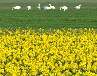 Swans by daffodil fields.