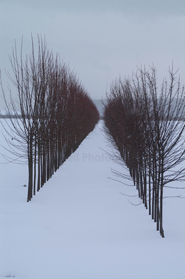 Two rows of bare trees converging in snow.