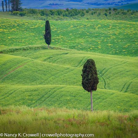 Tuscan cypress.