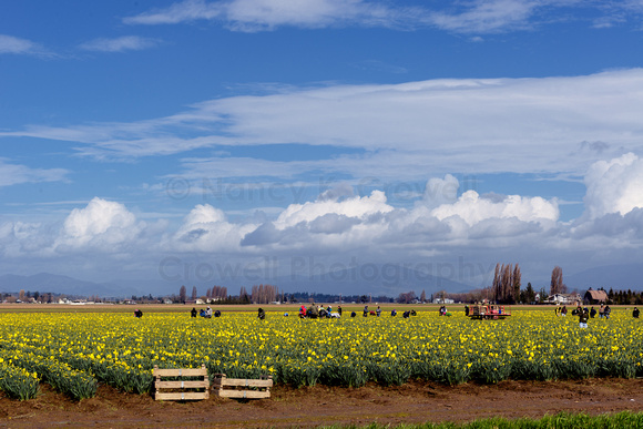 Migrant workers picking daffodils in Skagit Valley, Washington.