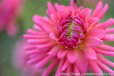 Close up image of pink dahlia.