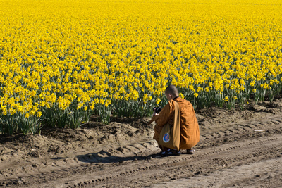 Orange-robed monk squatting down to take close-up pictures of daffodils in Skagit Valley, Washington.
