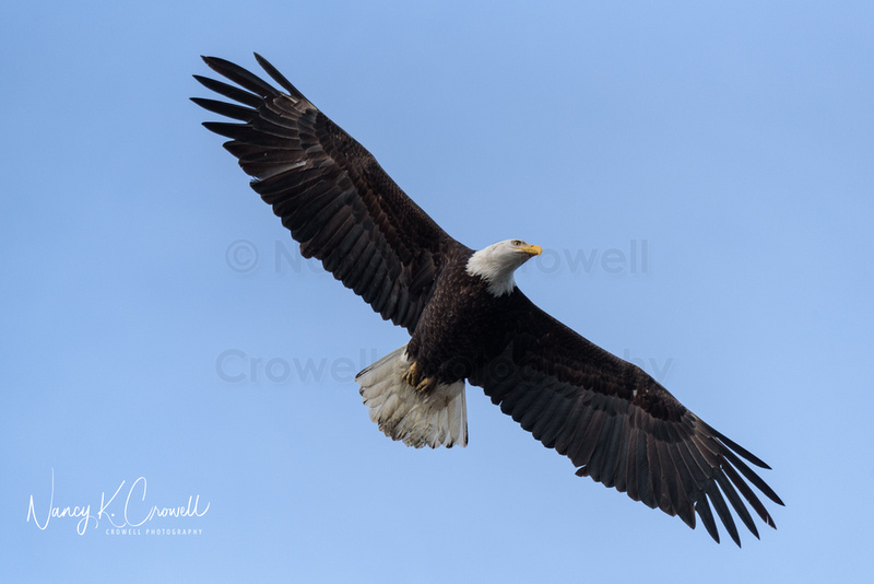 Single bald eagle in flight