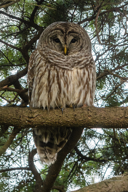Photo of large barred owl on a tree branch.