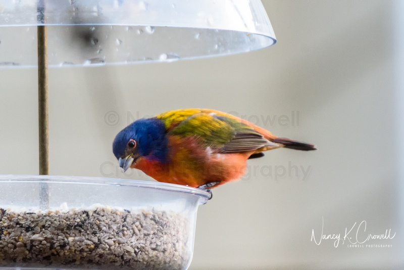 Photo of brightly colored male painted bunting at a bird feeder.