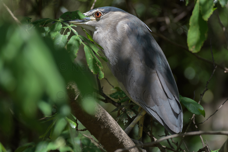 A blue-capped night heron peeking out from his perch inside foliage.