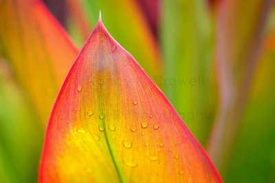 Close up of a brilliant colored leaf with red, yellow and green coloring.