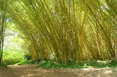 This stand of Golden Bamboo in Allerton Garden was backdrop for a fight scene in Pirates of the Caribbean.