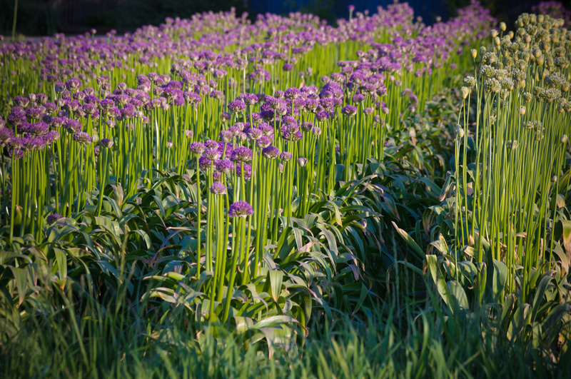 Rows of allium growing.