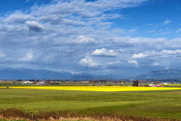 A view from above the fields in Skagit Valley, Washington, shows a surprising swath of brilliant yellow where daffodils are blooming.
