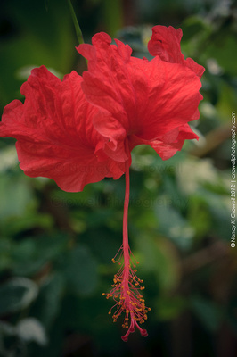 One variety of hibiscus.